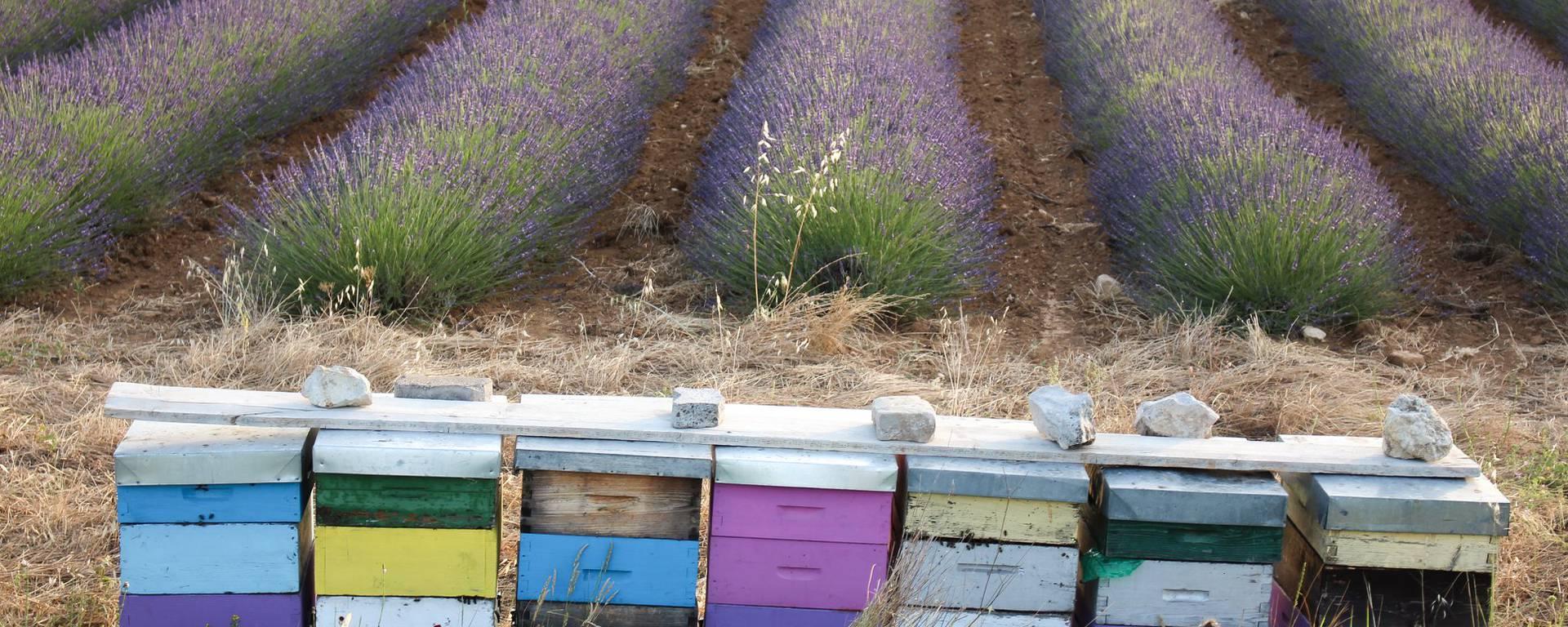 Lavande fête lavandin Luberon Pays d'Apt les Agnels distillation parfum Musée de la lavande