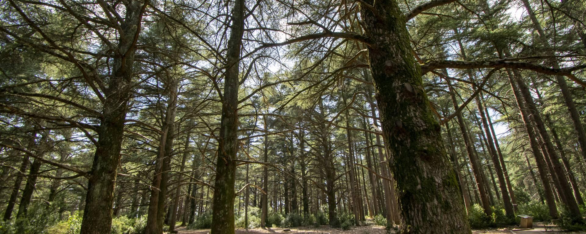 Forêt des Cèdres   Bonnieux   Nature