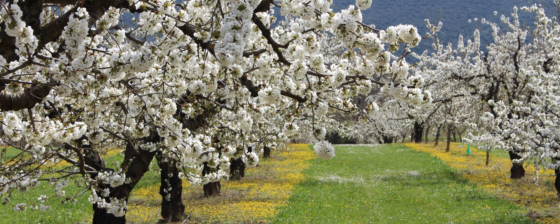 champ cerisier luberon provence cerises printemps