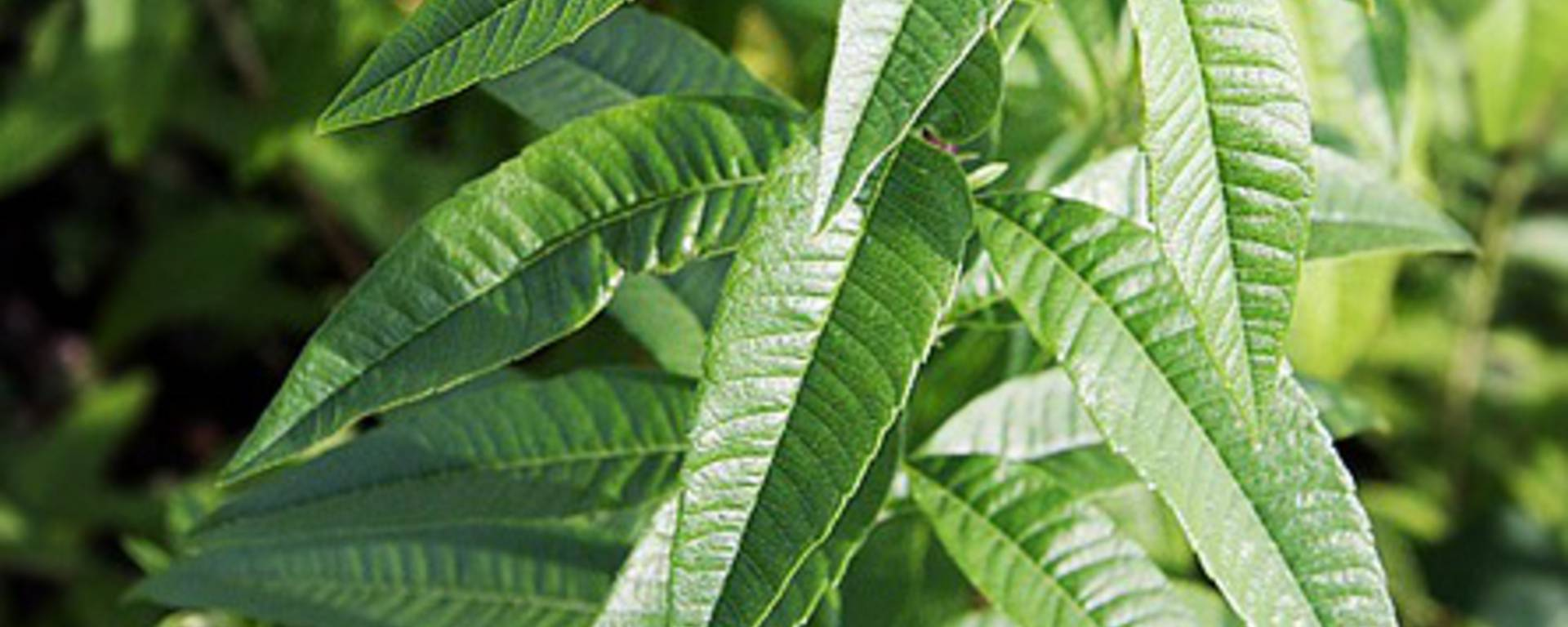 verveine tisane bien-être cocconing herbes plantes nature