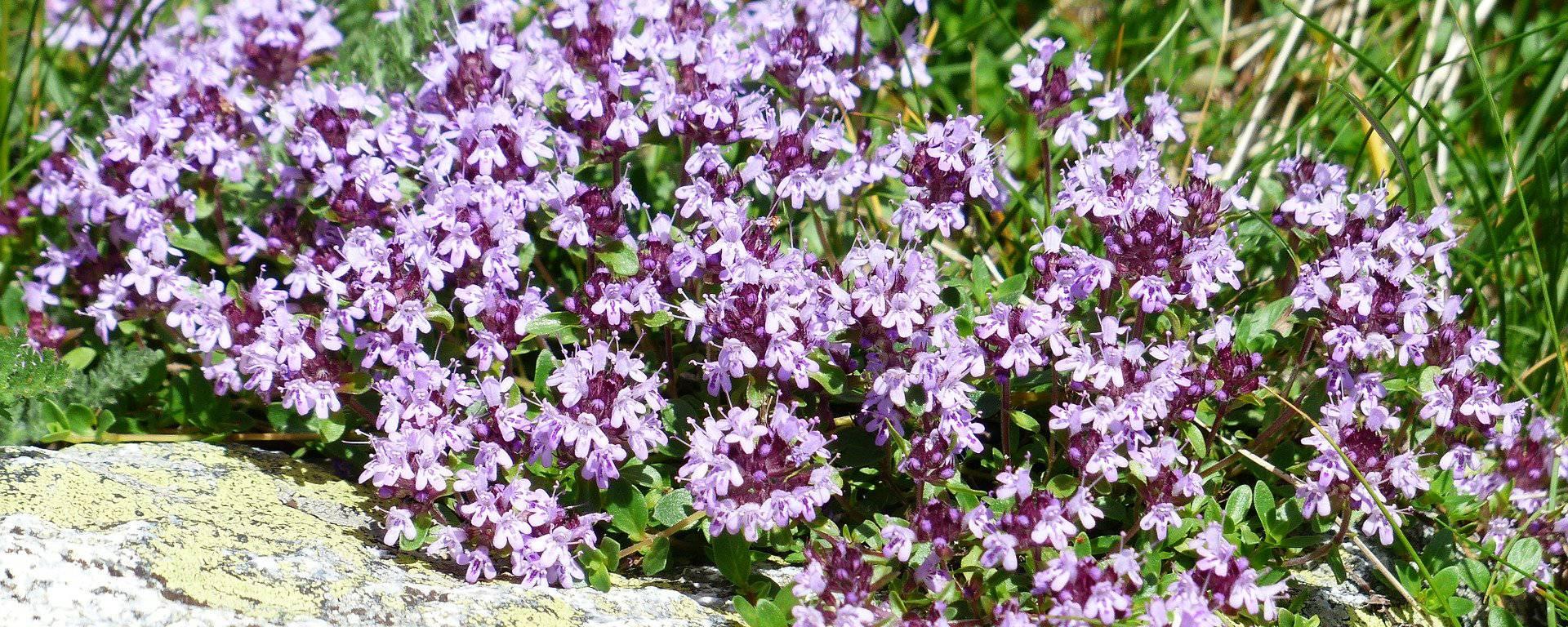 thym tisane bien-être cocconing herbes plantes nature