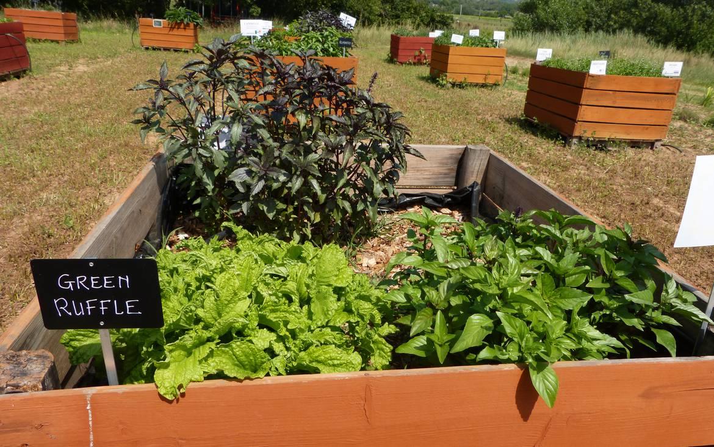 Comment Planter Du Basilic le pistou : le vrai : la ferme aux basilics | office de
