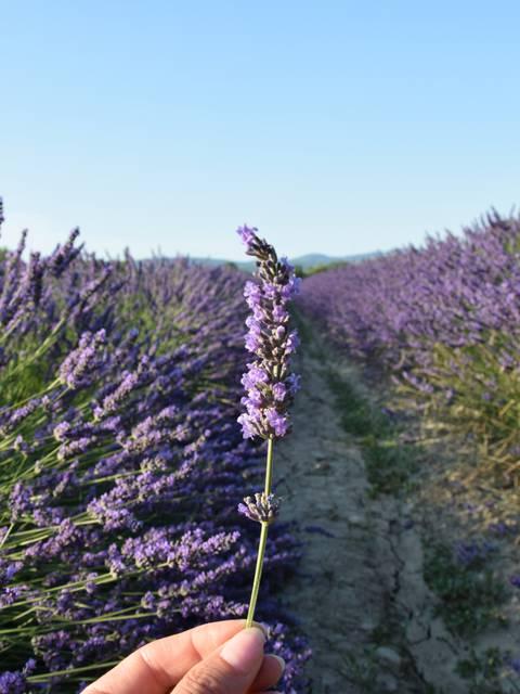 Lavande | Pays d'Apt Luberon | Provence | Floraison