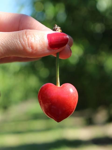 Cerise du Luberon | Branche | Rouge