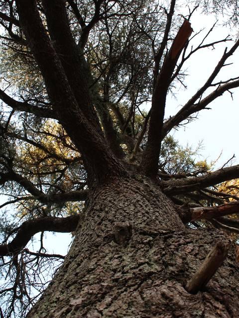 Forêt des Cèdres | Arbre