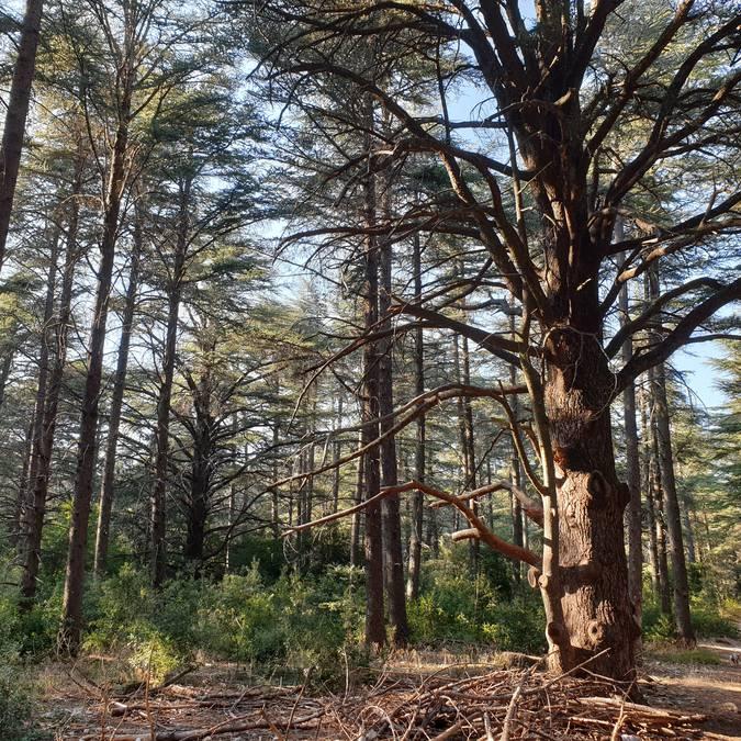 Forêt des Cèdres | Sentier du Portalas | Nature | Arbre