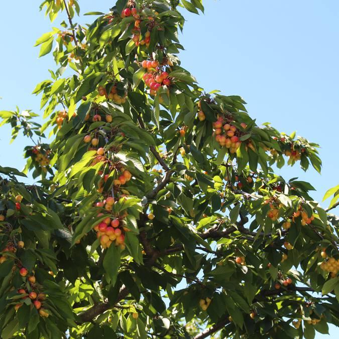 Cerisier bigarreau | Arbre | Fruits