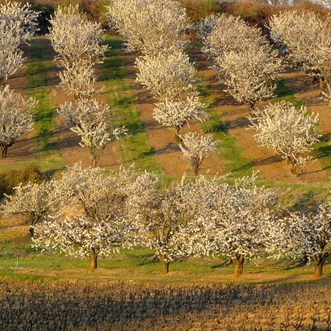Champs de cerisiers en fleurs | Printemps