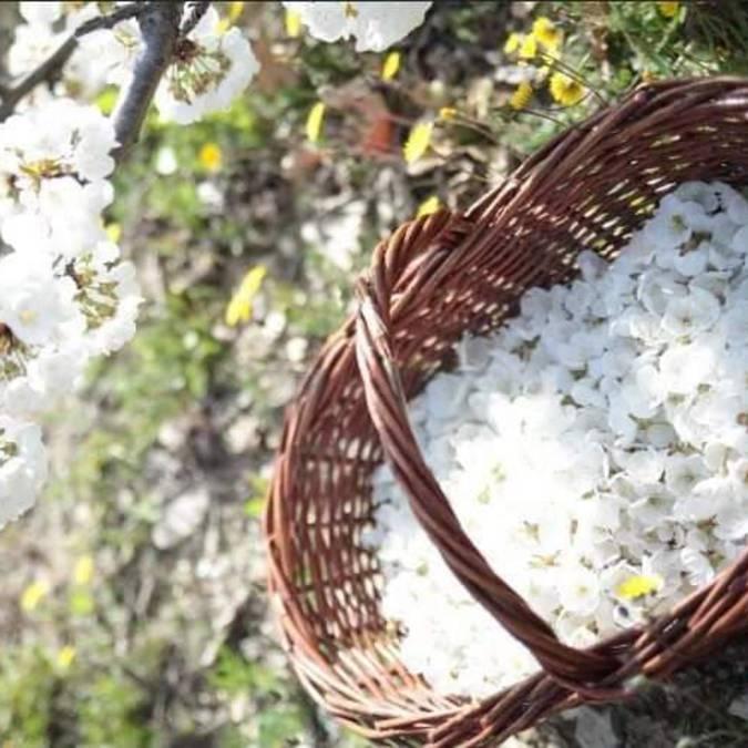 Cueillette | Fleurs de cerisiers | Printemps