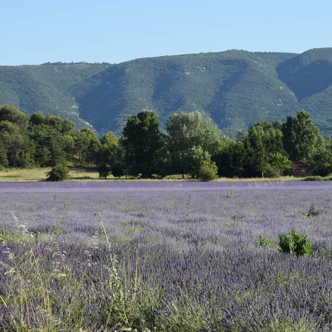 Champ de lavandins | Floraison | Provence | Luberon