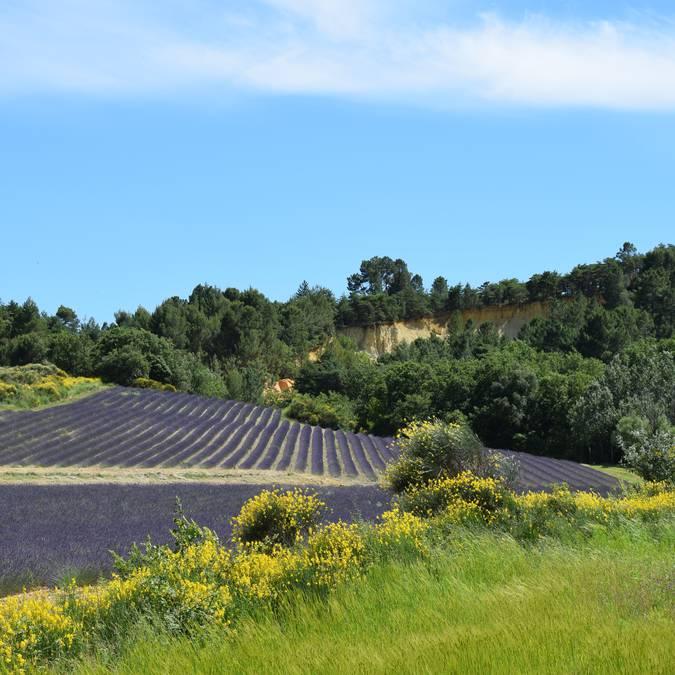 Champ de lavande | Floraison | Provence | Luberon | Paysage | Ocres