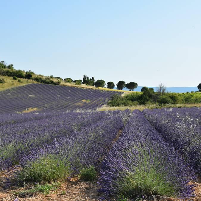Champ de lavandins | Floraison | Provence | Luberon | Lavandes | Lavenders