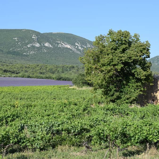 Champ de lavande | Floraison | Provence | Luberon | Paysage