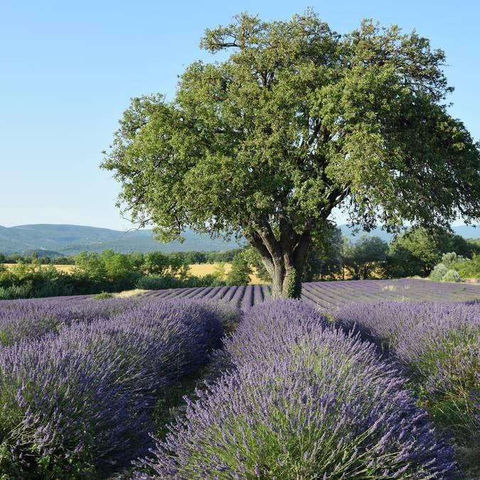 Champ de lavande | Floraison | Provence | Luberon