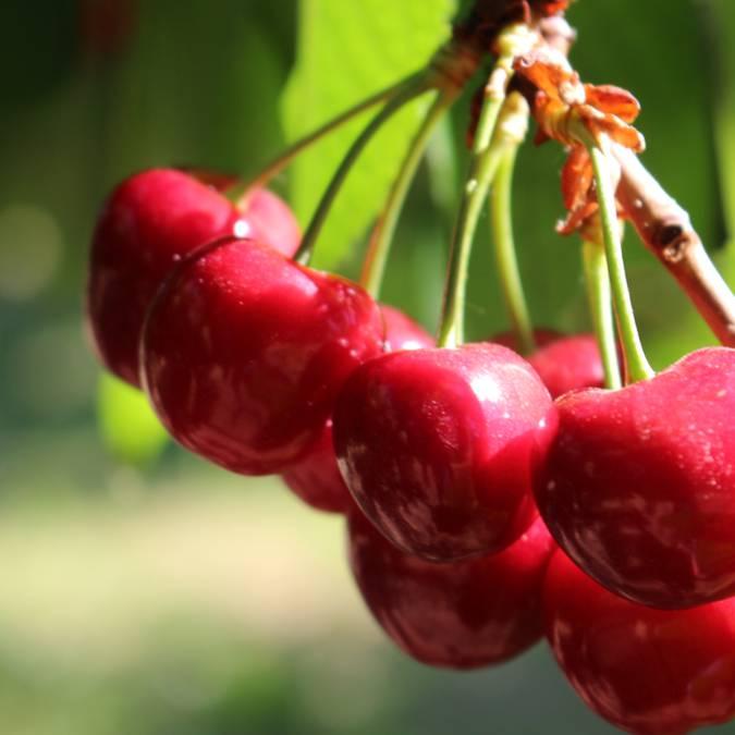 Cerise du Luberon | Feuille | Branche