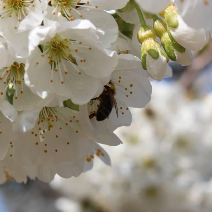 Fleurs de cerisiers | Abeilles | Butineuses | Printemps