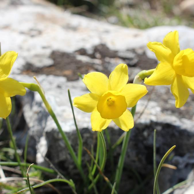 Jonquille des bois | Fleurs | Printemps