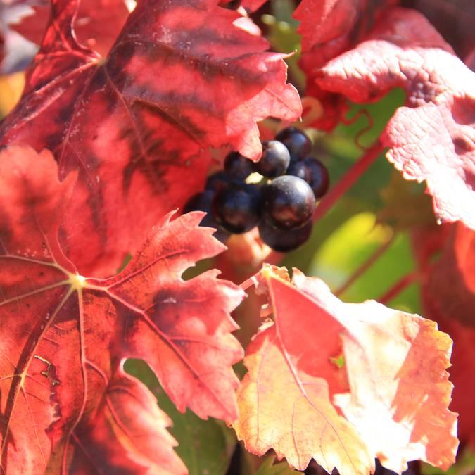 Feuille de vignes | Automne
