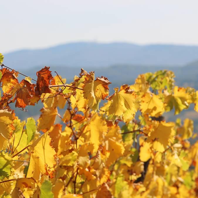 Vignes dorées | Automne | Luberon