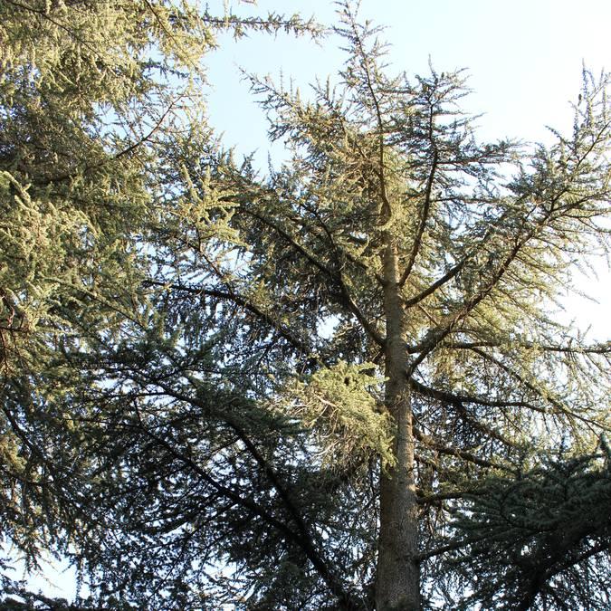 Arbre | Cèdres | Forêt | Cèdres de l'Atlas