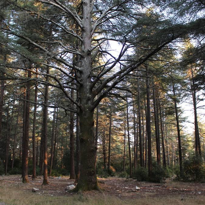 Cèdres de l'Atlas | Forêt des Cèdres | Arbres