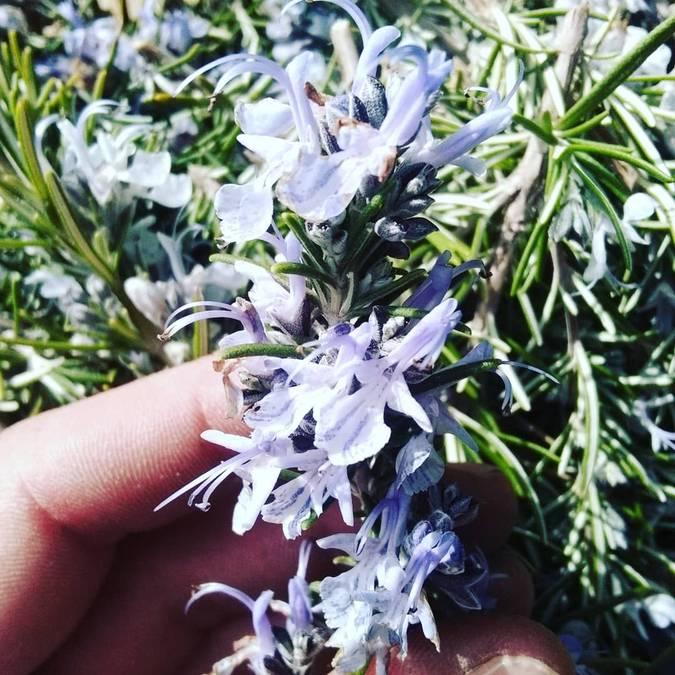Romarin en fleurs | Fleurs | Printemps