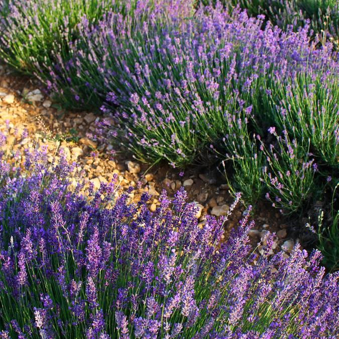 Lavandes | Floraison | Provence | Luberon