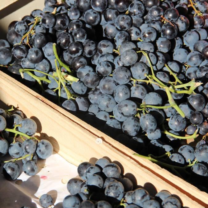 Marché provençal du Luberon | Raisins | Variétés | Étal