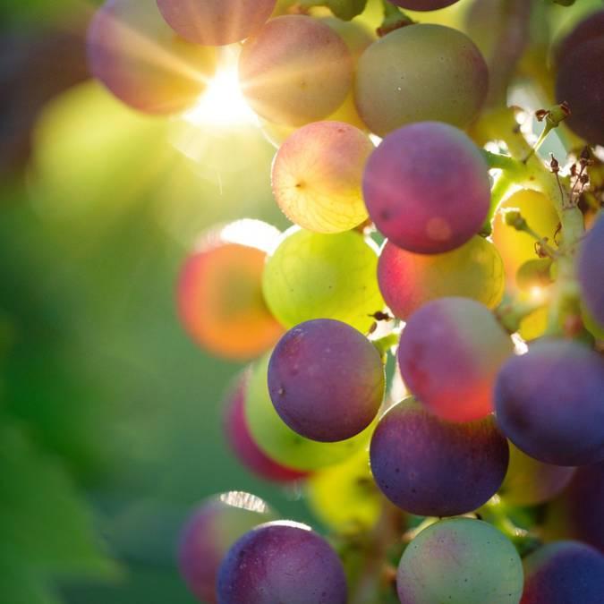 Vigne du Luberon | Raisin | Grappe de raisin
