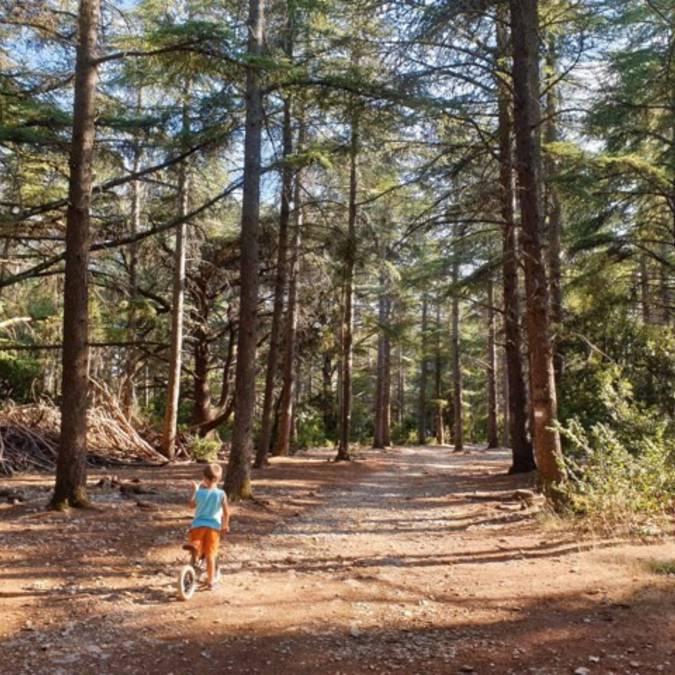 Forêt des Cèdres | Luberon | Cèdres de l'Atlas